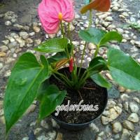 Anthurium merah