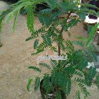 Bibit tanaman asem jawa