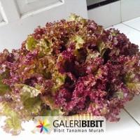 Bibit & Benih Selada Merah / Red Lettuce Red Rapid (GB 112)