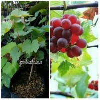 Bibit anggur merah