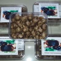 Jual Black Garlic Tunggal 1/4 Kg (Agen) Atau Bawang Hitam Lanang Murah