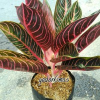 aglonema red Sumatra
