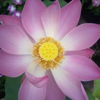 Tanaman Air Bunga Lotus / Seroja