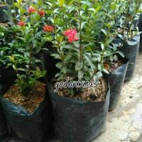 Bibit bunga asoka india