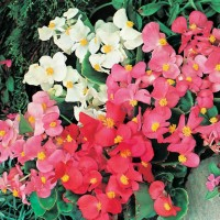 Benih / Bibit / Biji - Bunga Begonia Summer Rainbow F2 Seeds - IMPORT