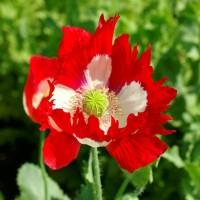 Benih / Bibit / Biji - Bunga Poppy Victoria Cross Seeds - IMPORT