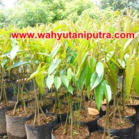 bibit durian bhineka bawor kaki tiga unggul | bibit durian bawor murah