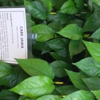Bibit tanaman obat cabe jawa (Piper rectrofractum)