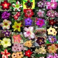 Benih Bunga Adenium Obesum Mix / Desert Rose Seed Import Ori Thailand