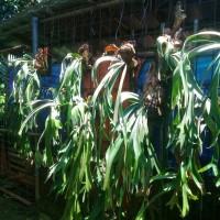 Jual tanduk rusa tanaman paku hias