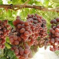 Katalog Bibit Anggur Merah Import Katalog.or.id