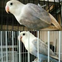 Love Bird Impor Sepasang