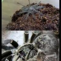 Tarantula C Darlingi