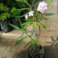 Tanaman hias oleander
