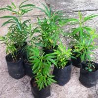 Jual Bibit tanaman Zodia (Evodia suaveolens) ukuran mini Murah
