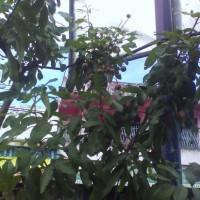 bibit buah kelengkeng cangkoan dan sudah berbuah