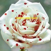 Benih Bibit Bunga Mawar Corak Bintik Merah