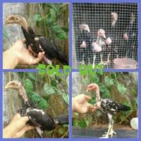 anak ayam bangkok / saigon / birma