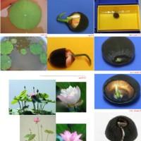 benih bunga teratai flower biji tanaman air aquascape Lotus seed