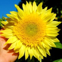 5 Benih Biji Bibit Sunflower Starburst