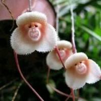 Jual Benih Biji Bibit Bunga Anggrek Monkey Face Dragon - import Murah