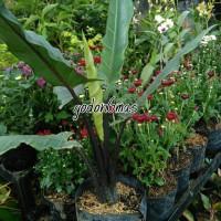 Tanaman hias caladium black selvet