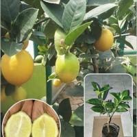 Tanaman Buah Lemon Import Tanpa Biji