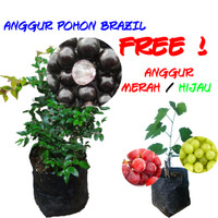 Bibit Tanaman Buah Anggur Pohon / Anggur Brasil / Jaboticaba