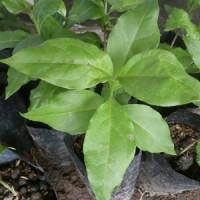 harga Bibit kacang amazone Amerika unggul tanaman kacang amerika amazon mura Tokopedia.com