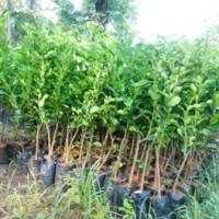 bibit buah jeruk purut unggul|ecer tanaman jeruk limau murah purworejo