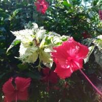 Kembang sepatu variegata | aneka warna bunga sepatu