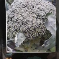 Benih Brokoli - Iriana F1 (New Day Seed)