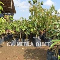 Bibit Pohon Durian Bhineka Bawor Berkaki Asli Banyumas | Harga Bibit Durian Bawor Rp70.000