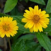 biji/benih/bibit bunga jotang