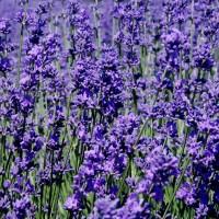 Benih Biji Bibit Lavender 'French Blue'