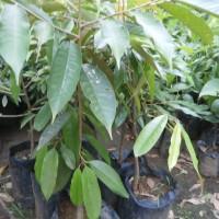 bibit tanaman durian musang king kaki satu murah | harga bibit durian