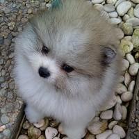 21+ Mini pom anjing lucu terbaru