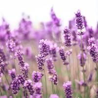 Bibit Parfum Ibaca Drago Lavender Fragrance Oil (100cc)