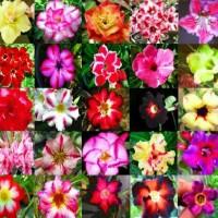 Benih / Bibit / Biji - Bunga Adenium Obesum Mix Seeds - IMPORT