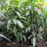 Jual bibit tanaman buah mangga kiojay Thailand cepat ...