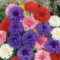 Benih / Bibit / Biji - Bunga Dwarf Cornflower Polka Dot Mixed - IMPORT