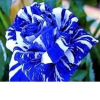 Benih / Bibit Bunga Mawar Naga Biru (Blue Dragon Rose Seeds) - IMPORT