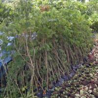 Bibit tanaman trembesi | supplier tanaman pelindung