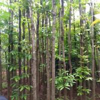 Pohon pelindung mahogani 300cm sudah karantina