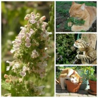 Benih / Bibit / Biji - Catnip Herbs (Nepeta cataria) SUPER - IMPORT