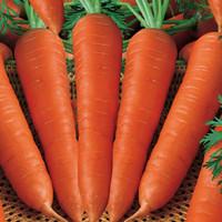 Harga 15 biji benih wortel parisian   Hargalu.com