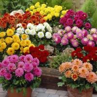Bibit Bunga Dahlia Unwins Dwarf Mix Bunga Musim Panas