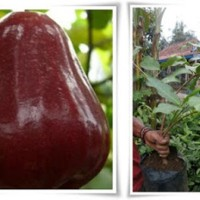bibit jambu air king rose unggul | Tanaman buah jambu king rose murah