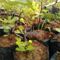 Bibit buah Tin /buah ara ungu
