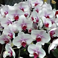 harga Benih Bibit Biji Bunga Phalaenopsis Orchid White (Anggrek Butterfly) Tokopedia.com